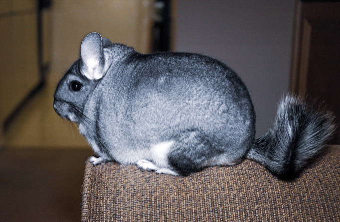 THE CASE OF THE MISSING CHINCHILLA